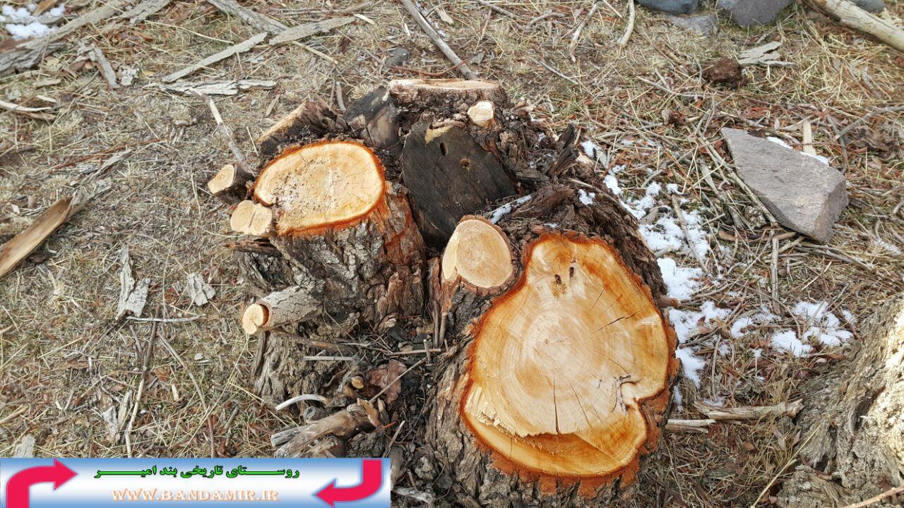 قطع درختان بید